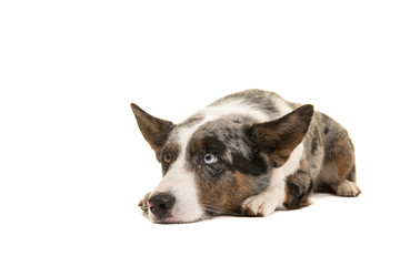Welsh corgi lying down looking up on a white background