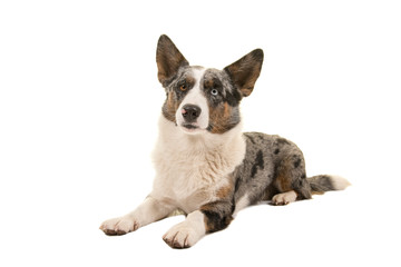Welsh corgi looking at the camera lying down on a white background