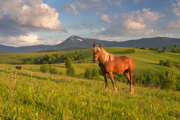 Horse at alpine meadow in Carpathians