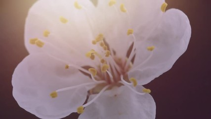 Fotoväggar - Spring flowers opening. Beautiful Spring Apricot tree blossom open timelapse, extreme close up. Time lapse of Easter fresh pink blossoming apricot closeup. Blooming backdrop on black 4K UHD video