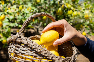 man harvesting lemons on an organic orchard