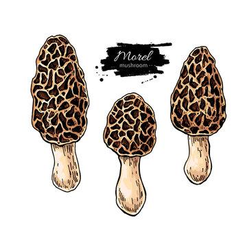 Morel mushroom hand drawn vector illustration set. Sketch food drawing