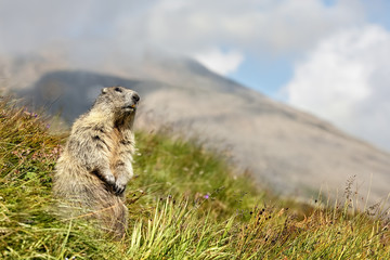 Alpine marmot, Marmota marmota, Großglockner, Austria, Europe, xxl+more: bartussek.xmstore