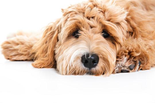 Golden Labradoodle dog isolated on white background