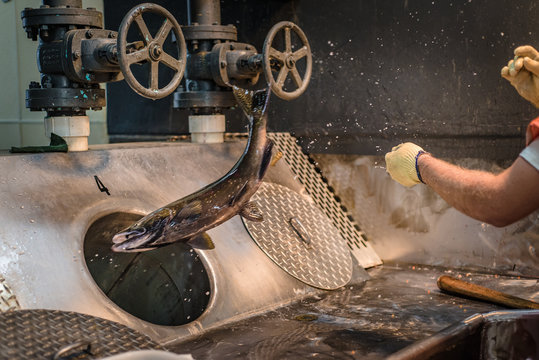 Worker at a fish hatchery throwing salmon into a sorting pipe