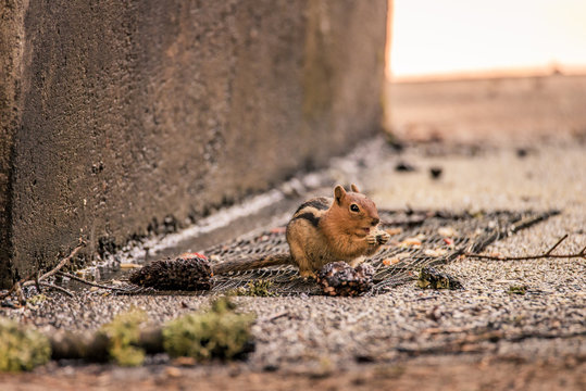 California chipmunk at lassen volcanic national park, Northern Nalifornia