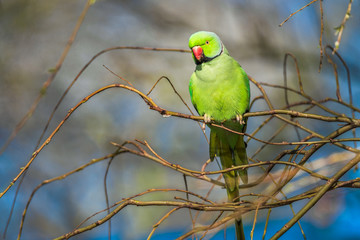 Wild ring-necked parakeet in Amsterdam, the Netherlands