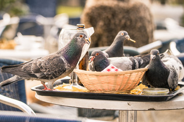 Pigeons eating chips left on a tray and basket at an outdoor bar in Amsterdam