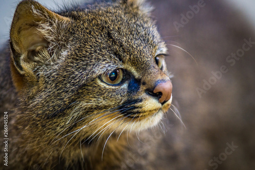 Pdf leopardus pajeros