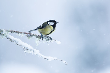 Wall Mural - Great tit perched on a snow and moss covered branch with a white mottled background.