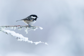 Wall Mural - Coal Tit perched on a snow covered branch with a white mottled background.