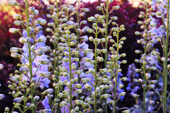 Baptisia australis, commonly known as blue wild indigo or blue false indigo at purple sunset in the garden.