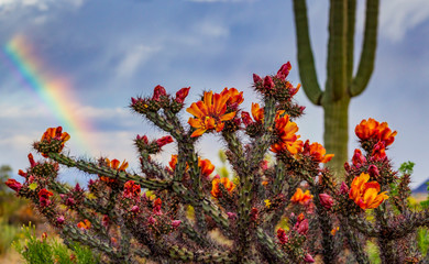 Springtime Cactus Blooming With Rainbow in the Background