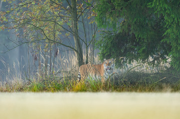 Tiger hidding on the edge of forest. Dangerous animal, taiga Russia. Siberian tiger, Panthera tigris altaica.