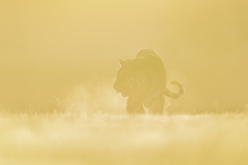 Tiger silhouette in morning yellow foggy light. Siberian tiger, Panthera tigris altaica