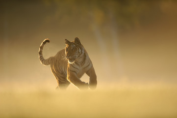 Hunting tiger on morning yellow soft light. Siberian tiger, Panthera tigris altaica