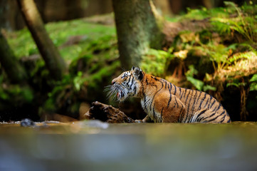 Tiger shouting in the river. Forest stream with dangerous animal. Panthera tigris altaica