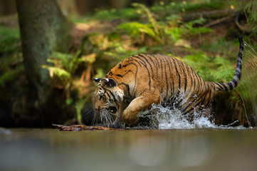 Siberian Tiger in forest river with splashing water. Agressive animal in natural habitat. Panthera tigris altaica