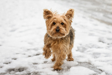 Yorkshire terrier dog outside in the snow looks at camera