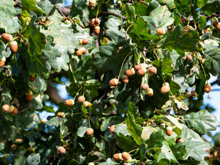 Fresh acorns on oak tree