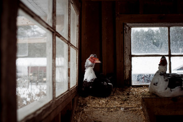 two Turkey's sitting in a barn with snow outside on a cold day