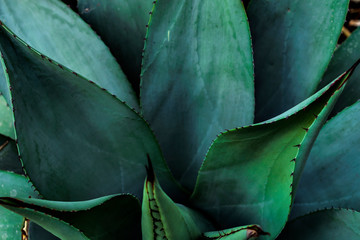 One of the types of Agave
