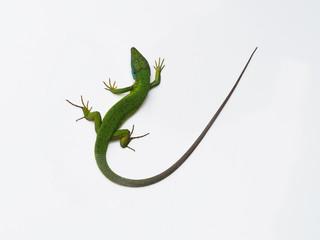 European green lizard, Lacerta viridis Wall mural