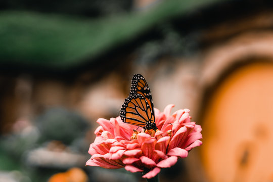 Closeup of monarch butterfly sitting on petals of beautiful pink flower on blurred background of hobbit dwelling