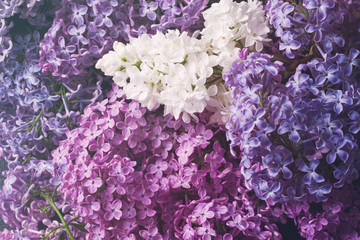 Bright flowers of a lilac close up. Flower spring background