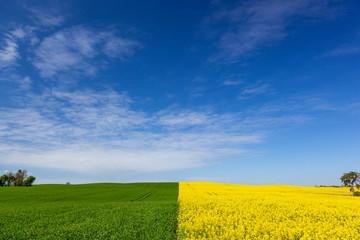 Rzepak - polski krajobraz wiosenny