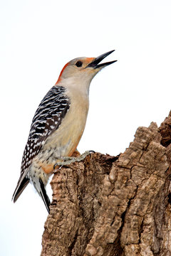 Female Red-bellied Woodpecker (Melanerpes carolinus) clinging to a tree stump.