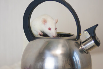 Concept of curiosity. White mouse looks in the kettle. White rat.