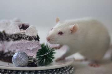 New Year's treat. New Year's rat. White mouse.