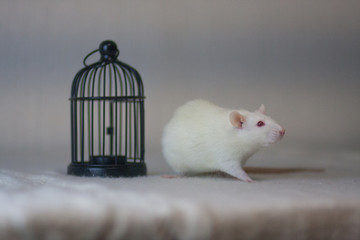 The concept of freedom. Be locked up. . Get free. White mouse.