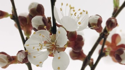 Klistermärke - Spring flowers opening. Beautiful Spring Apricot tree blossom open timelapse, extreme close up. Time lapse of Easter fresh pink blossoming apricot closeup. Blooming backdrop on white 4K UHD video