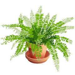 Indoor Fern Houseplant in Terra Cotta Pot Isolated on White Background