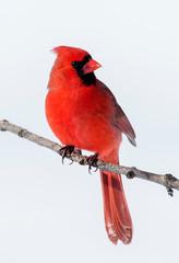 Cardinal finch