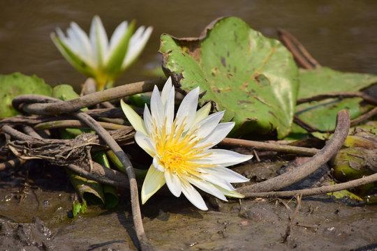 ดอกบัว Lotus flower