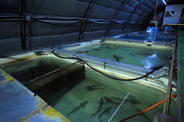 At an indoor fishery: hall with temperature control system and tanks with adult sturgeon fishes inside