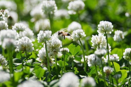 クローバーの白い花とミツバチ
