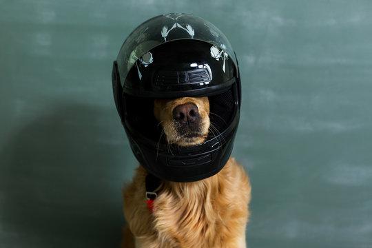 Dog in motorcycle helmet