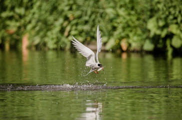 Common tern flying and hunting for fish
