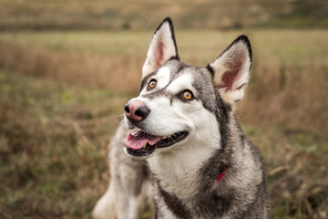 Cute grey and white husky outdoors looking at the camera