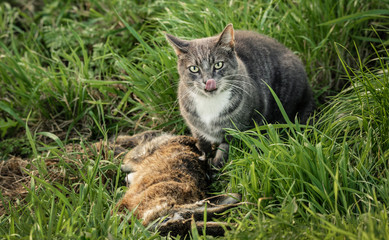 Domestic cat licking its lips over a freshly killed wild rabbit