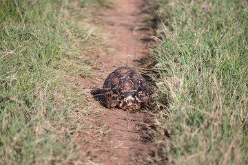 A turtle crawls between the grass in the savannah