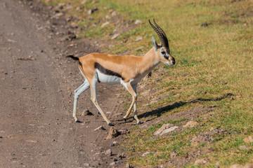 Door stickers Antelope small antilope crossing the road