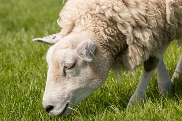 Close up of a sheep grazing on the IJsselmeer dyke.