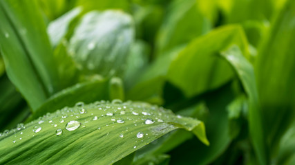 water drops on the leaves of lily of the valley