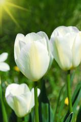 Beautiful white tulips in the sunlight, Closeup
