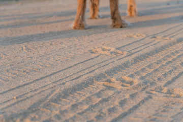6982eb1e0ebe Dog tracks on the sand of the beach against the background of the paws of  the